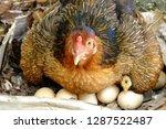 the hen is hatching the egg in... | Shutterstock . vector #1287522487