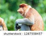 the proboscis monkey  nasalis... | Shutterstock . vector #1287558457