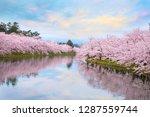 full bloom sakura   cherry... | Shutterstock . vector #1287559744
