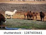 llama drinking in an oasis of... | Shutterstock . vector #1287603661