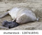 female elephant seal nuzzling... | Shutterstock . vector #1287618541