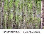 a view of endless poplar trees... | Shutterstock . vector #1287622531