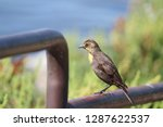 a female yellow headed... | Shutterstock . vector #1287622537