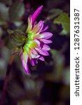 purple flower in a park in... | Shutterstock . vector #1287631387