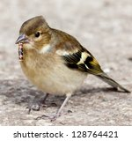 A Female Chaffinch Eating A...