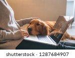 The Golden Retriever Dog Works...