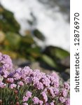Armeria Maritinum Thrift Or Se...