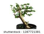bonsai tree in the pot...   Shutterstock . vector #1287721381