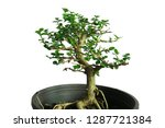 bonsai tree in the pot...   Shutterstock . vector #1287721384