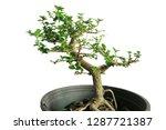 bonsai tree in the pot...   Shutterstock . vector #1287721387