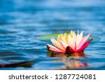 light pink of water lily or... | Shutterstock . vector #1287724081