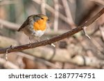 robin bird erithacus rubecula... | Shutterstock . vector #1287774751