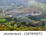the atlantic salmon  salmo...   Shutterstock . vector #1287890071
