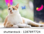 Stock photo domestic shorthair cat with a cat toy looking to the side white and ginger green eyes green 1287897724