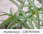 aloe houseplant. green leaves...   Shutterstock . vector #1287923644