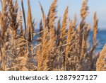 dried stalks of reeds against... | Shutterstock . vector #1287927127