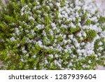 houseplant hebe green globe....   Shutterstock . vector #1287939604