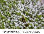 houseplant hebe green globe....   Shutterstock . vector #1287939607