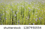 Closeup Of A Large Field With...