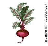 whole fresh red beet root with... | Shutterstock .eps vector #1288064227