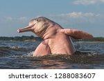 boto amazon river dolphin | Shutterstock . vector #1288083607