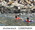 Tourists Swim With Sea Lions I...