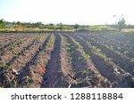 casava plantation  known as... | Shutterstock . vector #1288118884