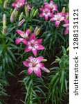 pink lily flower at garden ...   Shutterstock . vector #1288131121