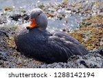 Falkland steamer duck ...