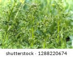 closeup of the stems and leaves ... | Shutterstock . vector #1288220674