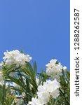 White Oleander Flowers ...