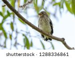 goldfinch  carduelis carduelis .... | Shutterstock . vector #1288336861