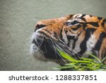 a tiger washing and grooming... | Shutterstock . vector #1288337851