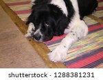 man's best friend  a dog  ... | Shutterstock . vector #1288381231