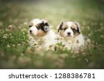 Stock photo playing puppies puppies are playing in nature australian shepherd puppies 1288386781