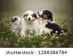 Stock photo playing puppies puppies are playing in nature australian shepherd puppies 1288386784