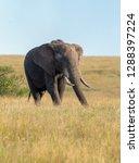 an african elephant grazing... | Shutterstock . vector #1288397224