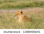 a lioness sitting in the grass... | Shutterstock . vector #1288400641