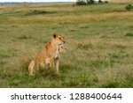 a lioness sitting in the grass... | Shutterstock . vector #1288400644