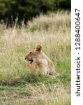 a lioness sitting in the grass... | Shutterstock . vector #1288400647