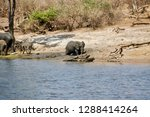 chobe river elephants           ... | Shutterstock . vector #1288414264