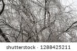 tangled mess of willow tree... | Shutterstock . vector #1288425211