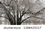 cropped view of a willow tree... | Shutterstock . vector #1288425217