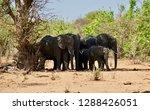 elephant family in botswana     ... | Shutterstock . vector #1288426051
