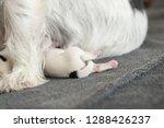 a litter of little dog breed.... | Shutterstock . vector #1288426237