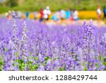 beautiful blooming purple... | Shutterstock . vector #1288429744