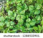 natural plants grow naturally...   Shutterstock . vector #1288533901