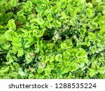 plants from asia grow naturally ...   Shutterstock . vector #1288535224