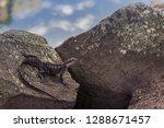 an australian water dragon ... | Shutterstock . vector #1288671457