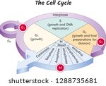 the cell cycle  biology  main... | Shutterstock .eps vector #1288735681